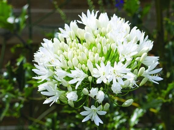 significato dei fiori, agapanto