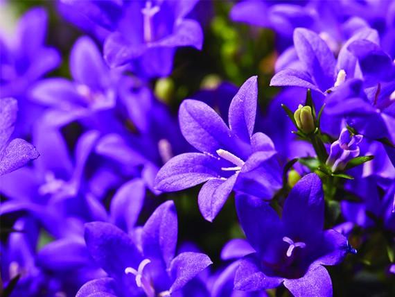 significato dei fiori: campanula