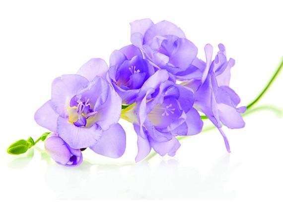 significato dei fiori: fresia