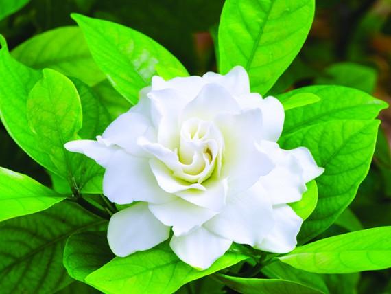 significato dei fiori: gardenia