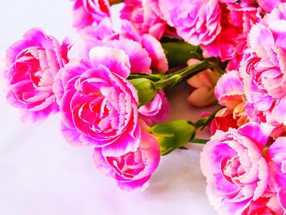 significato dei fiori: gardenia rosa