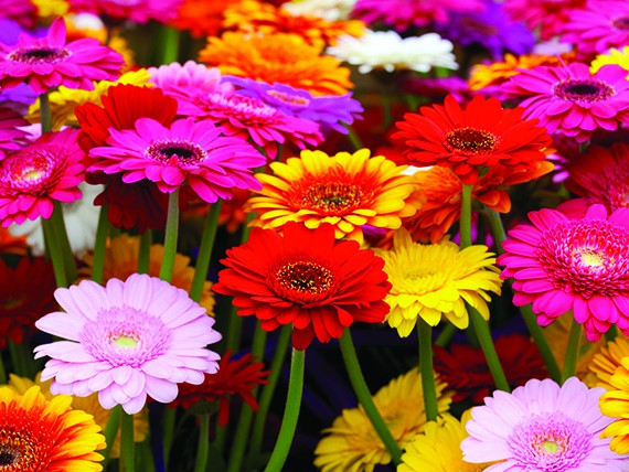 significato dei fiori:gerbera