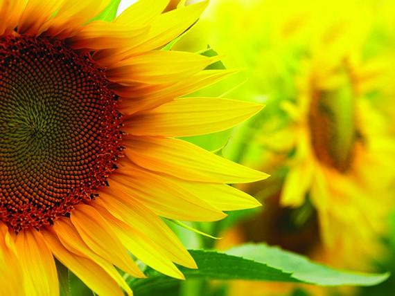 significato dei fiori: girasole