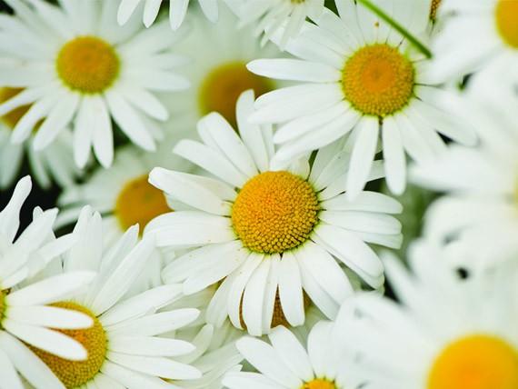significato dei fiori: margherita