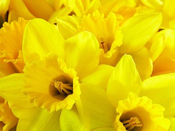 significato dei fiori: narciso