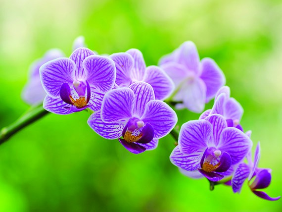 significato dei fiori: orchidea