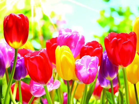 significato dei fiori: tulipano