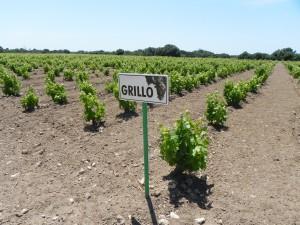 Mozia Vigneto del vitigno Grillo