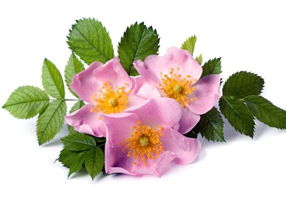 I rimedi naturali: rosa canina