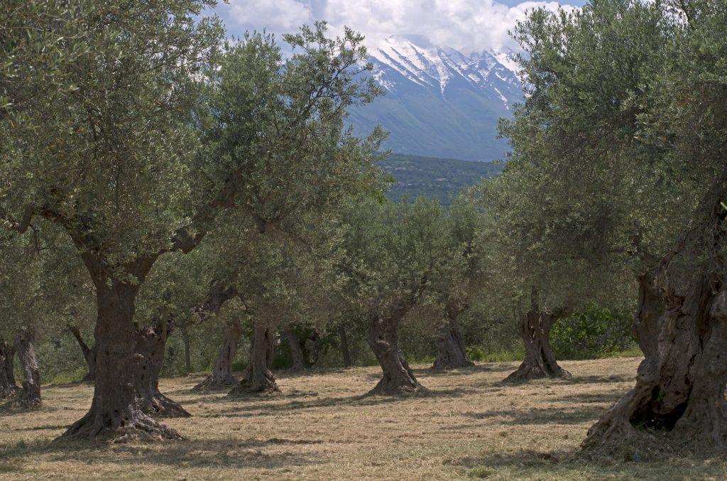 Olio extravergine d'oliva: cultivar Toccolana