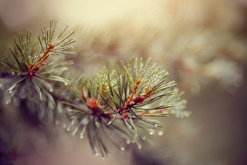 oli essenziali pino silvestre