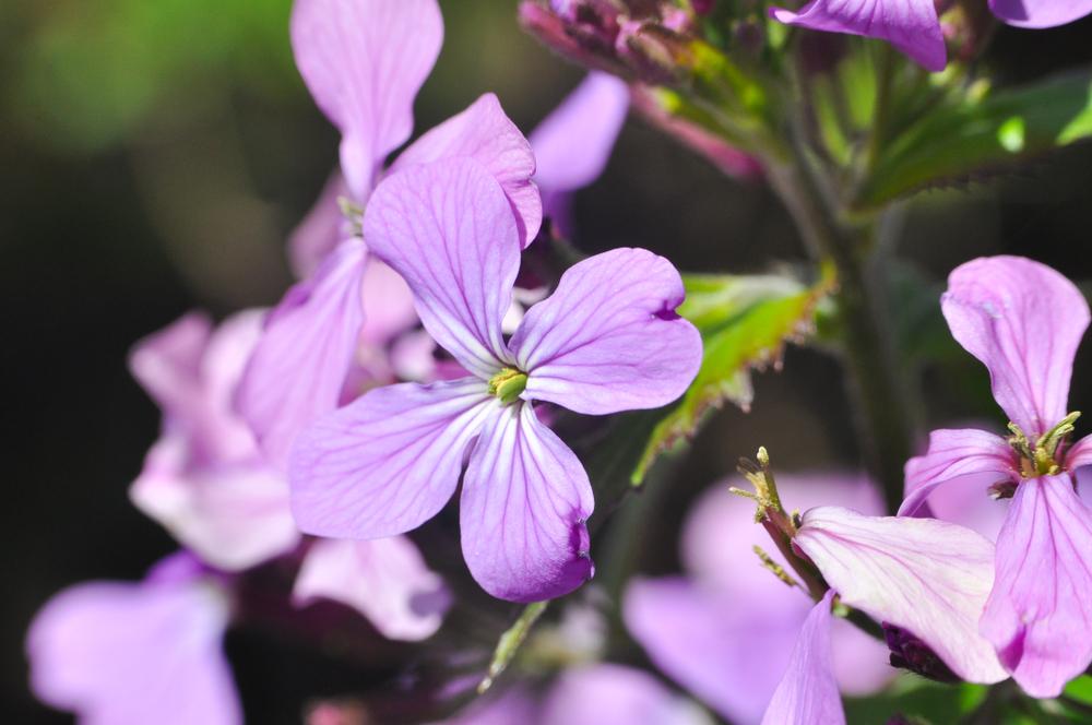 Scopri 10 antinfiammatori naturali: la malva