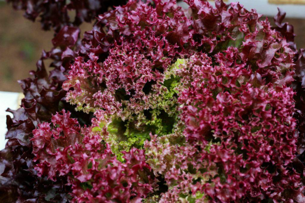 tipi di insalata, lollo rosa