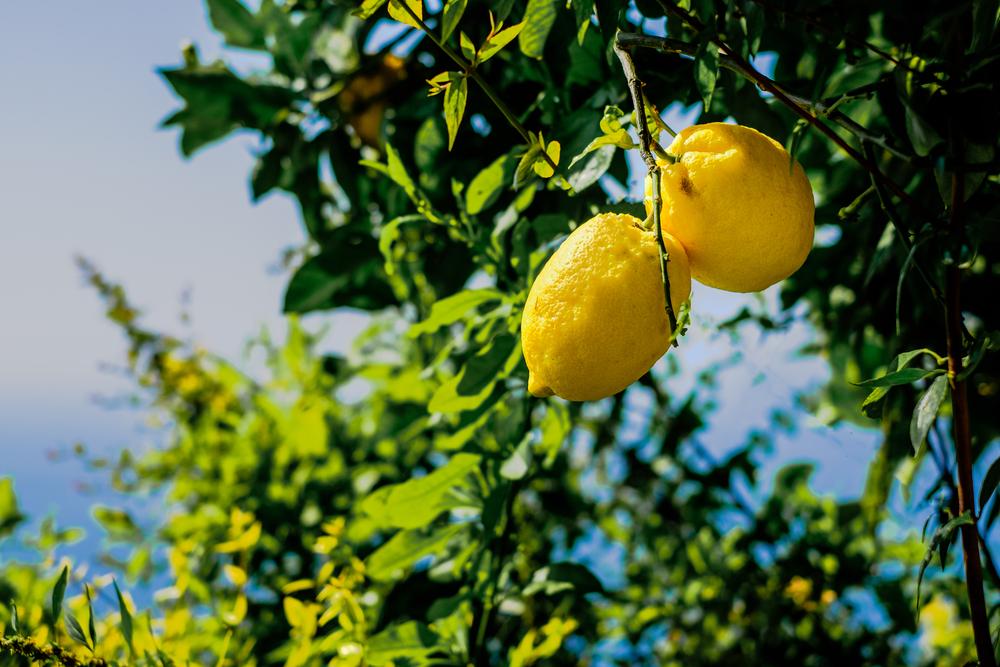 limone varietà