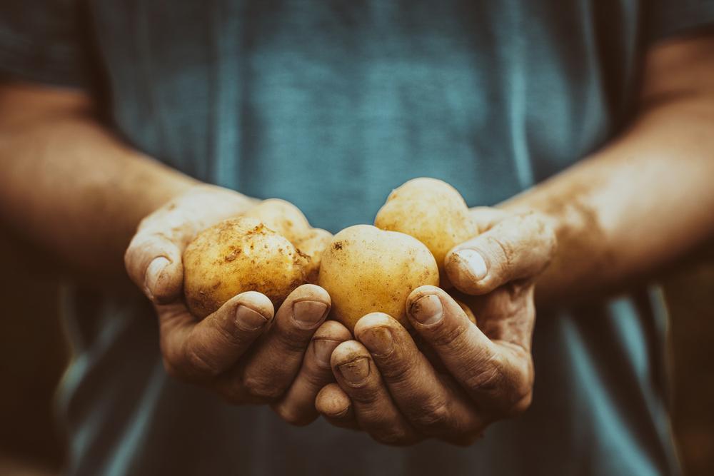 patate coltivazione