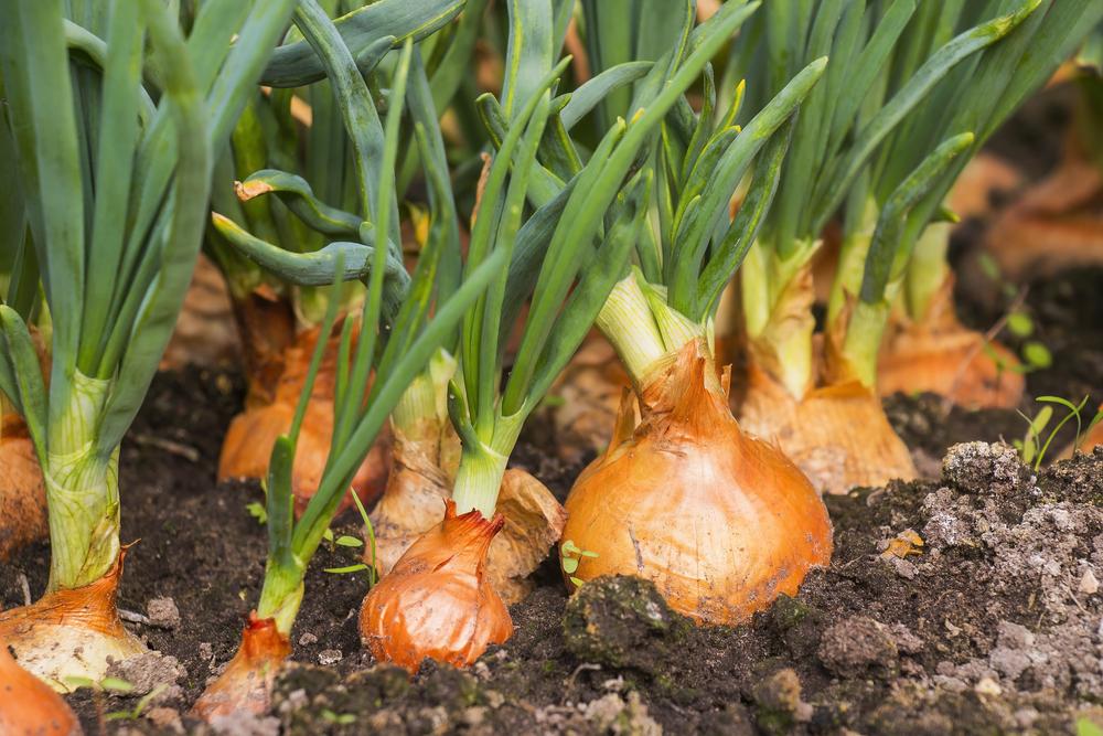 cipolla, come si coltiva
