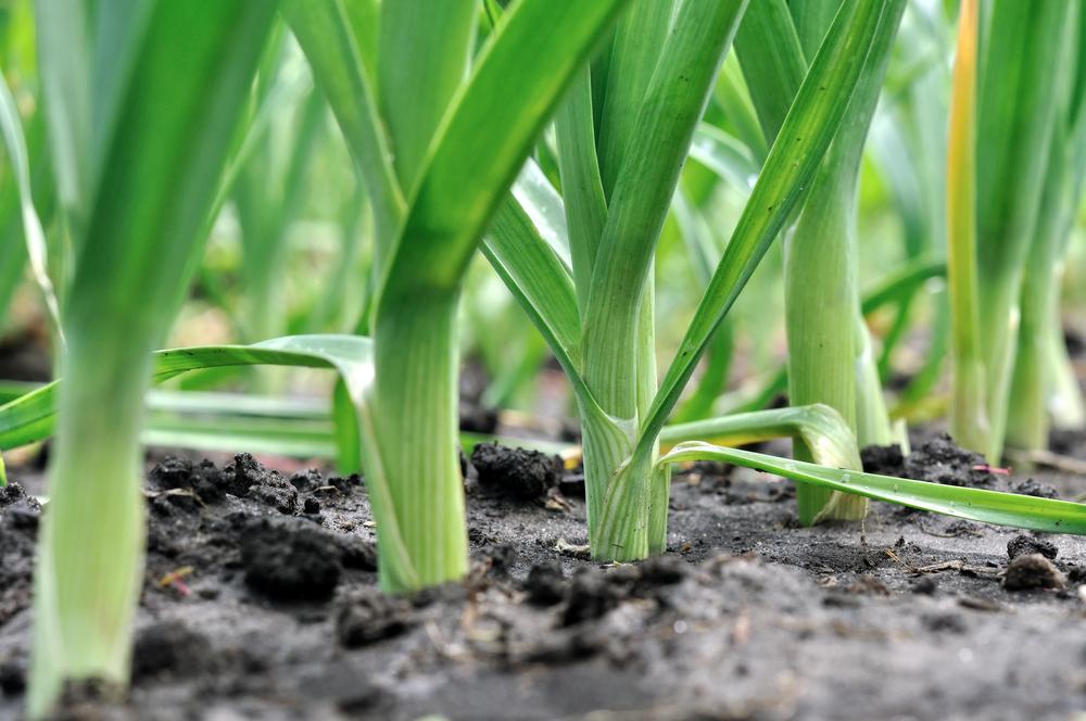 porri, la coltivazione