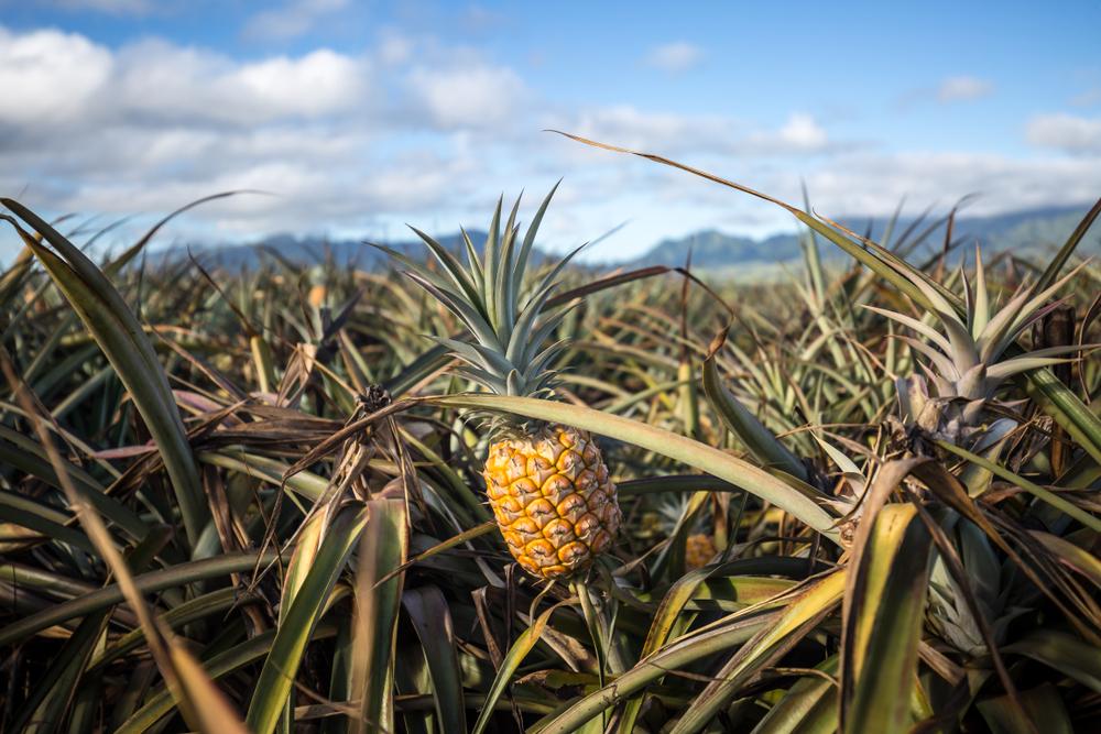 ananas storia