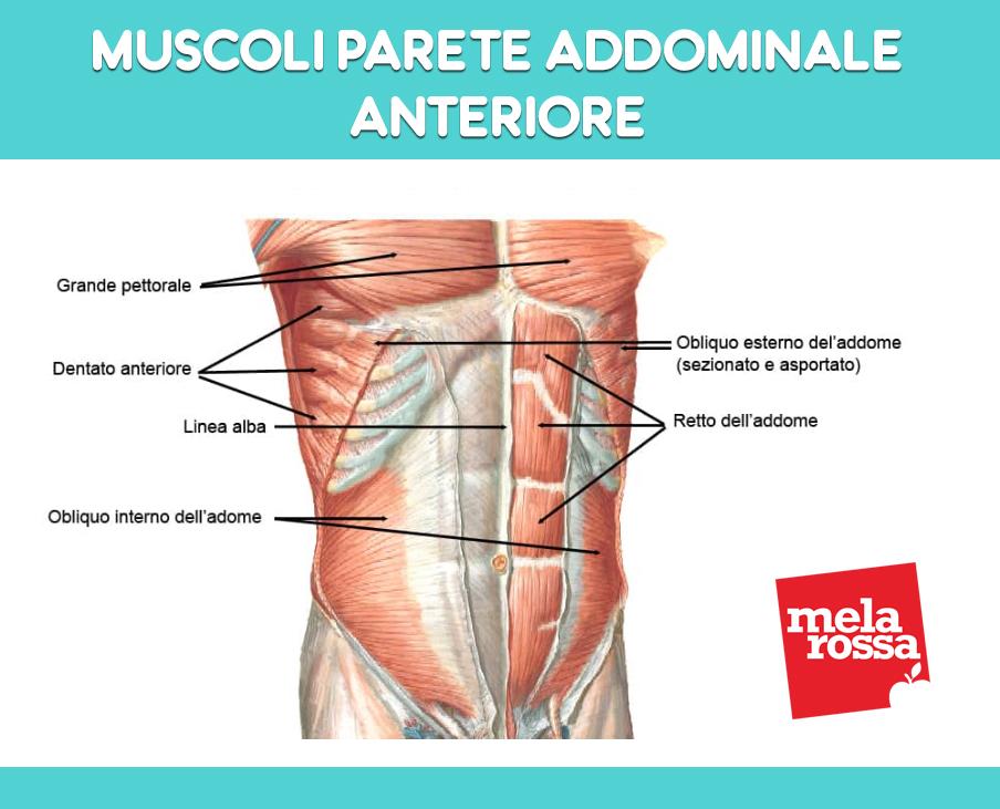 anatomia addominale: parete anteriore
