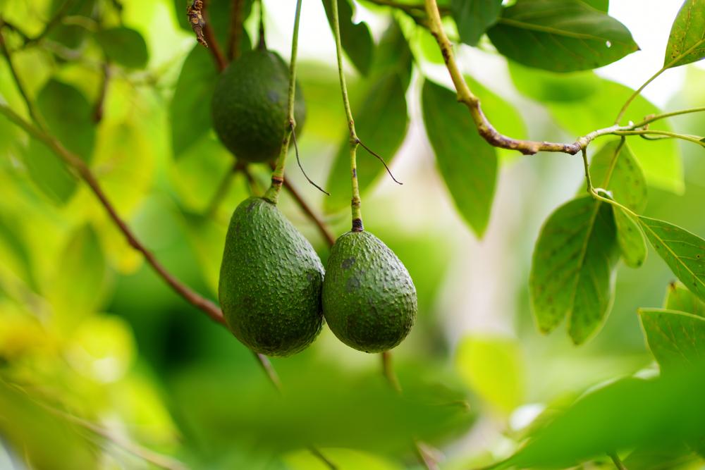 avocado, la pianta