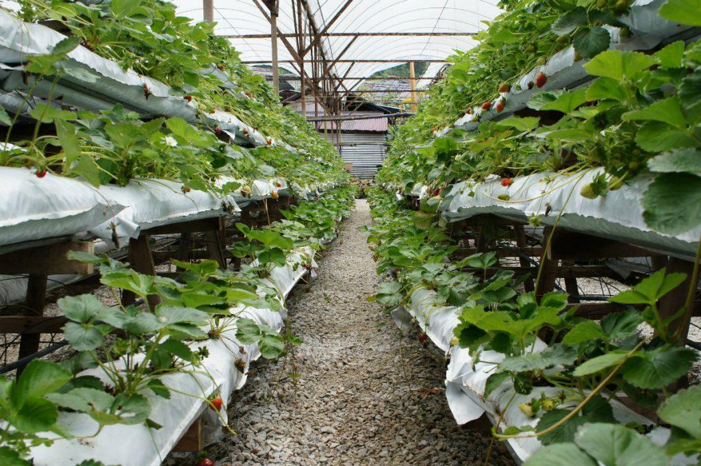 fragole, la coltivazione in serra