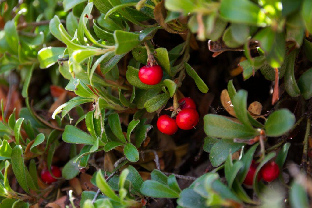 Rimedi naturali per la cistite: tintura madre di uva ursina