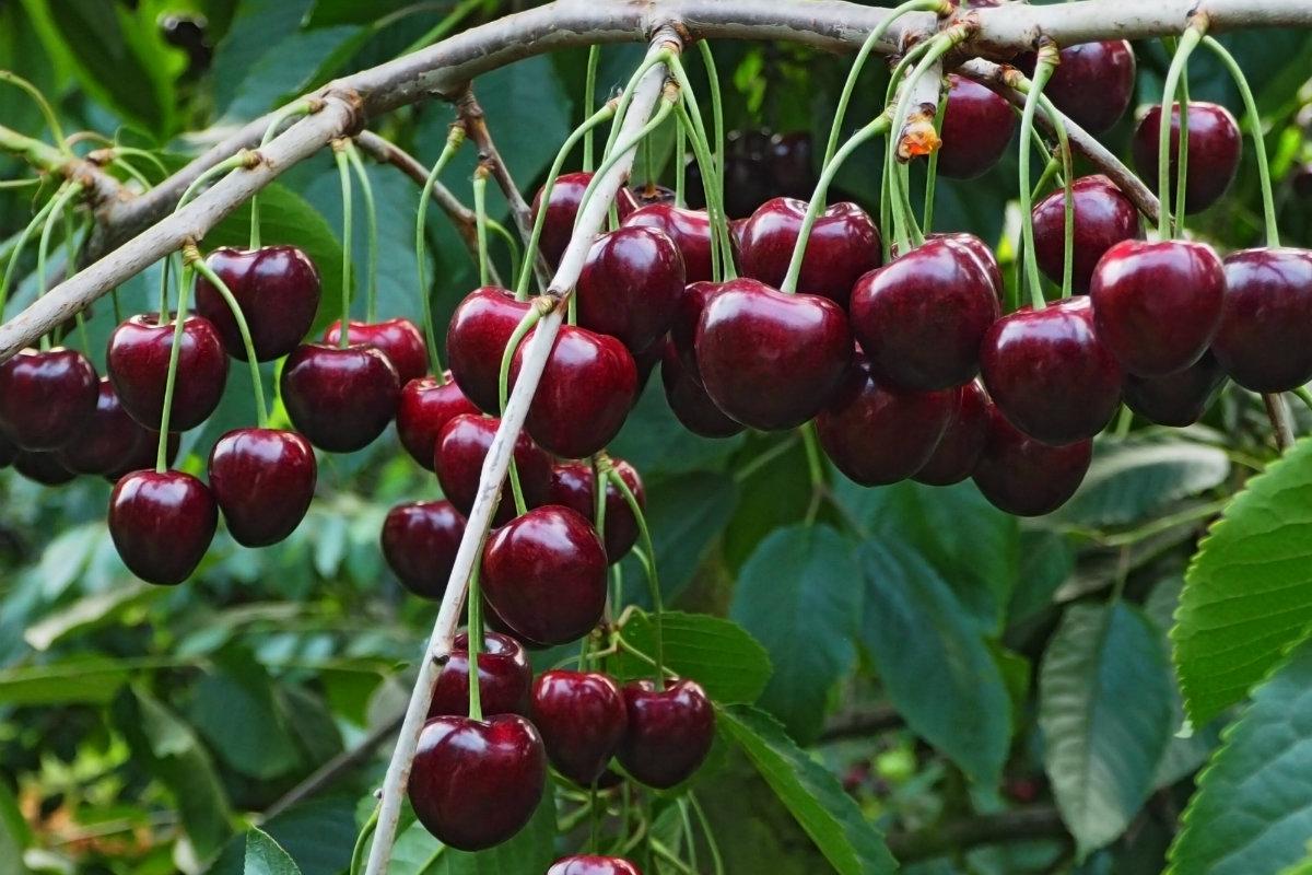 ciliegie, le varietà e la raccolta