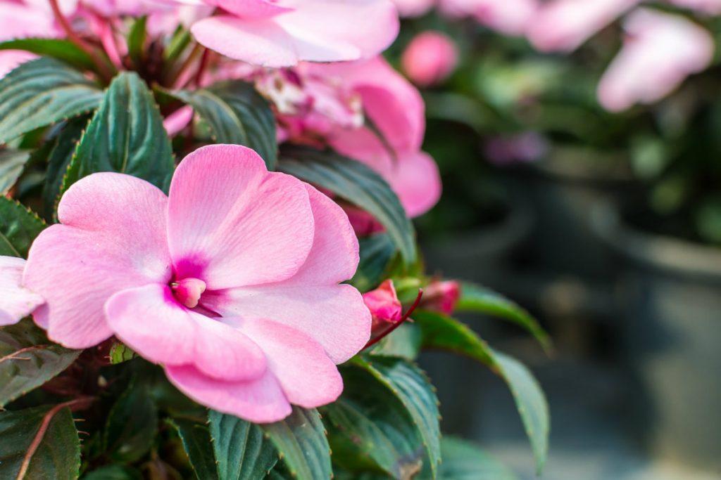 fiori di bach, impatients