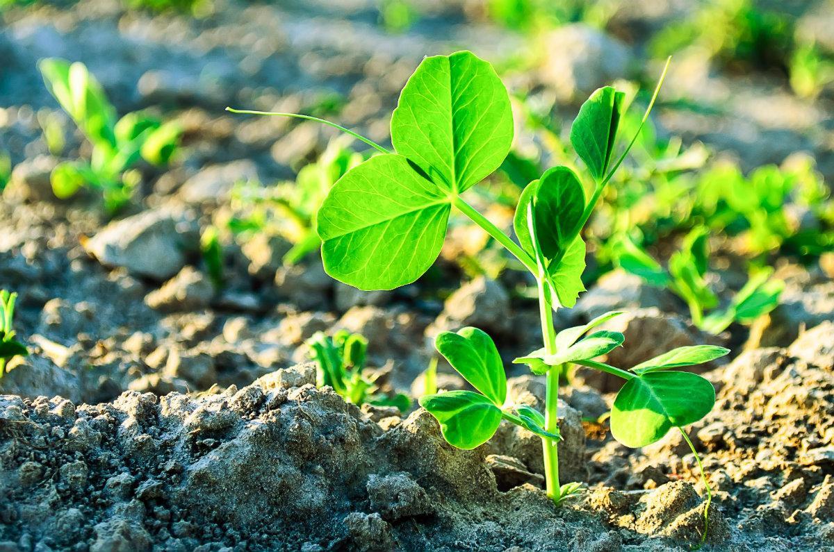 piselli, la pianta