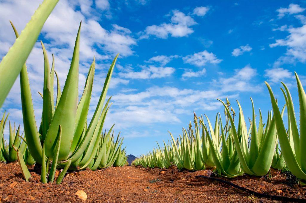 Aloe vera: proprietà, benefici e consigli d'uso di gel e succo - Melarossa