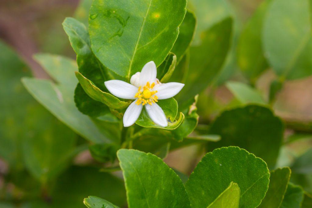 bergamotto, la pianta