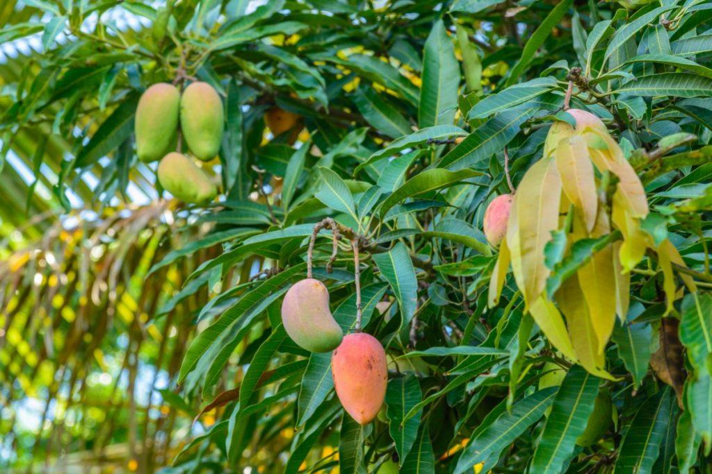 mango: foglie e fiori