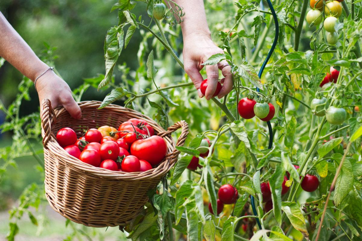 pomodori, la raccolta