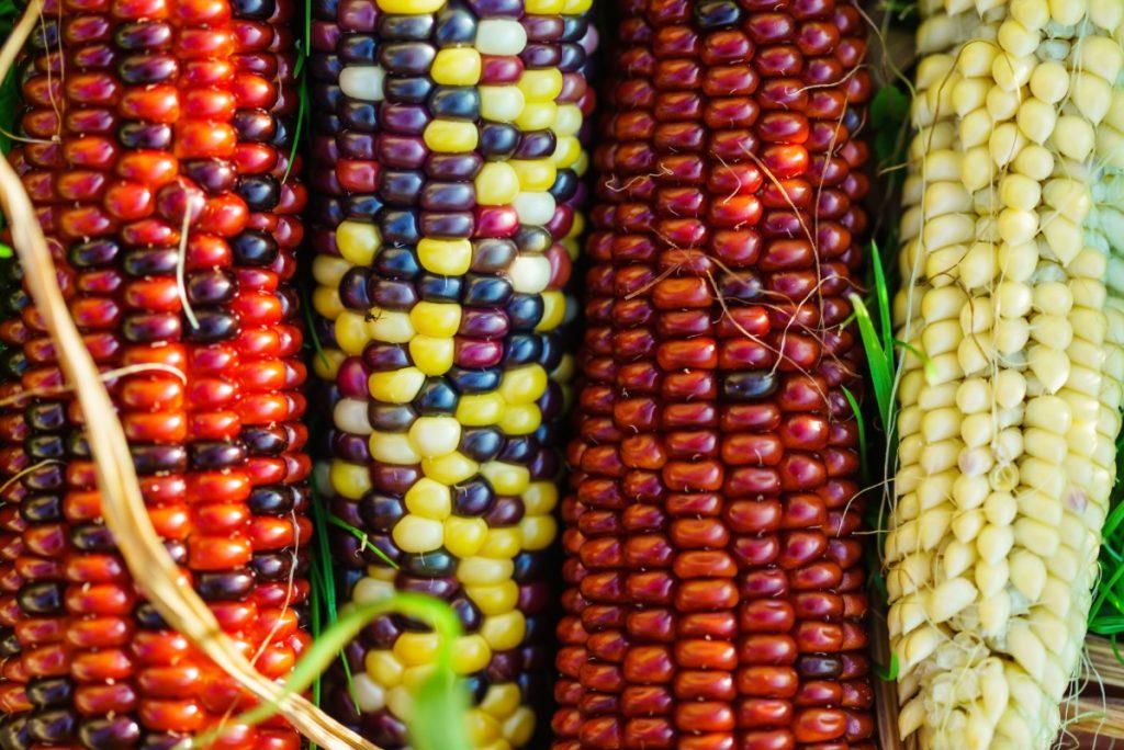 varietà: mais arlecchino