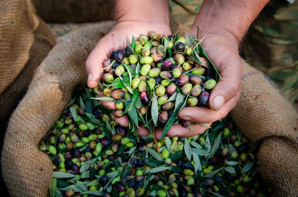 olio extravergine d'oliva, la raccolta