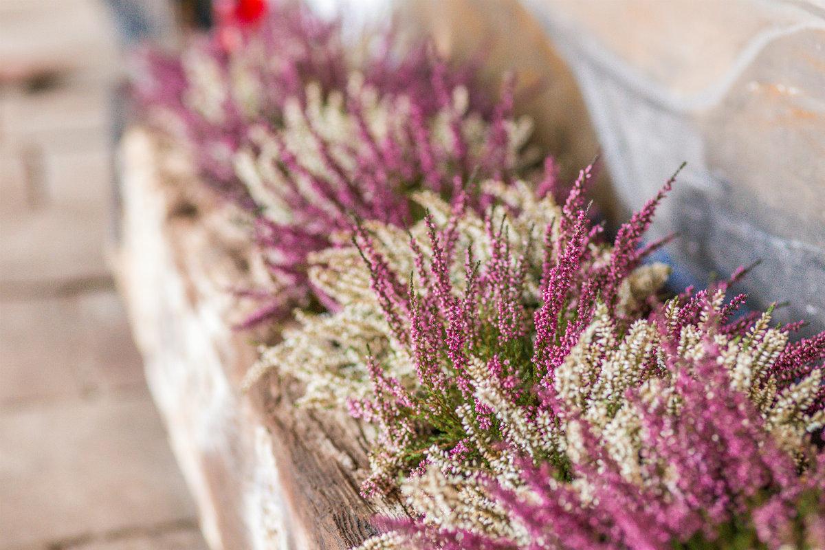 fiori di bach, heather