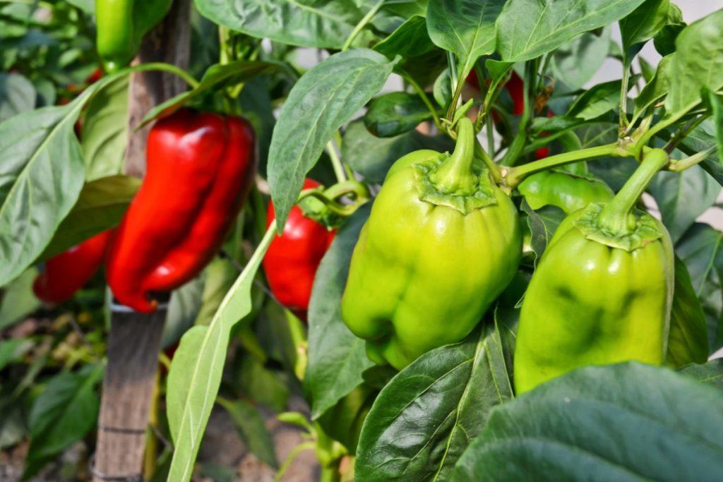 Le forme e i colori del peperone