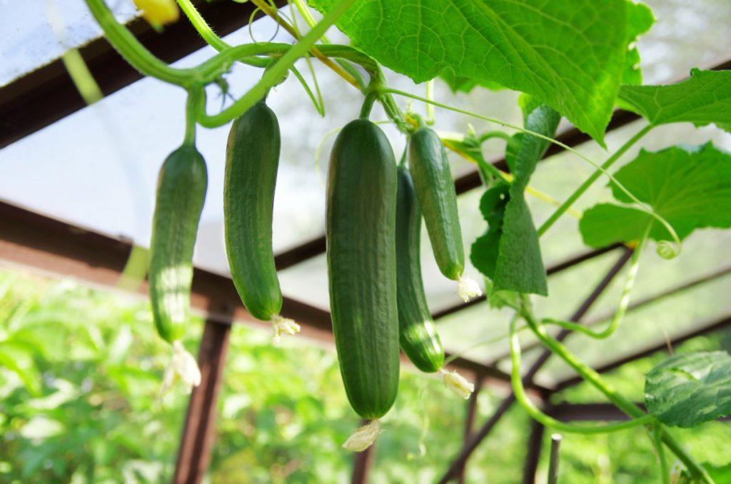 l'antica storia del cetriolo: le serre semoventi