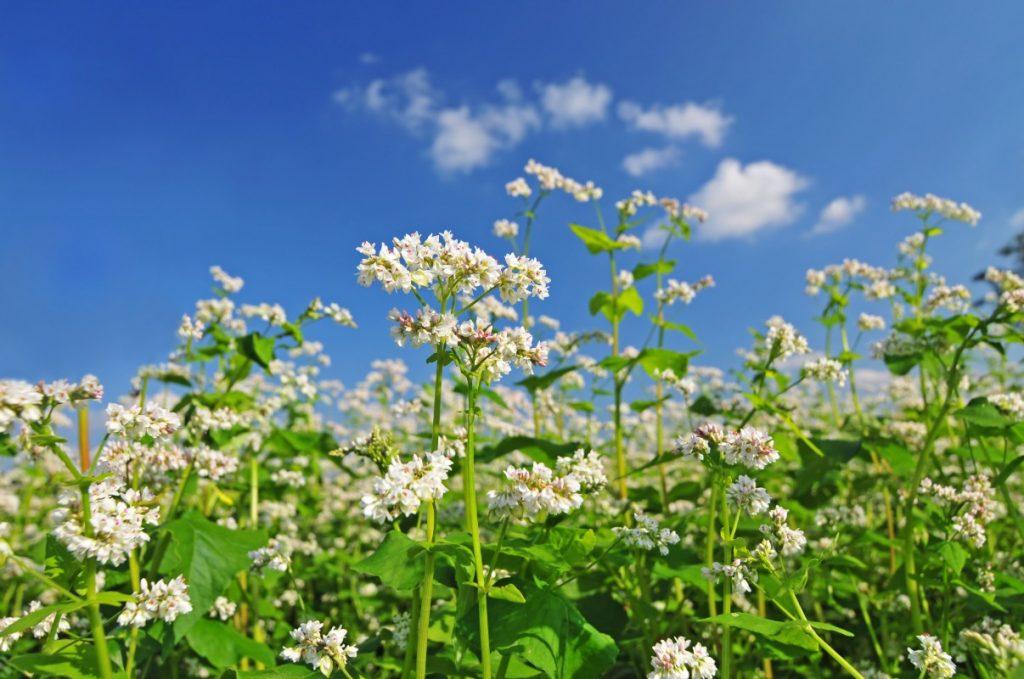 Grano saraceno: pianta, fiori e frutti