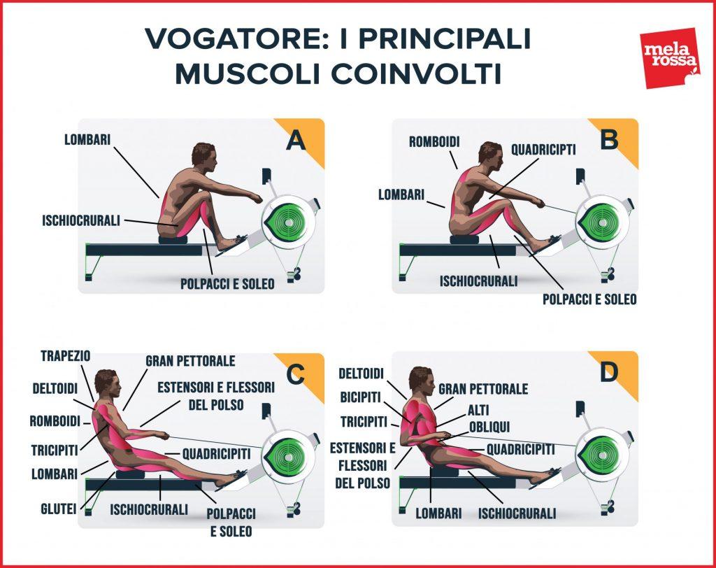 vogatore: muscoli coinvolti