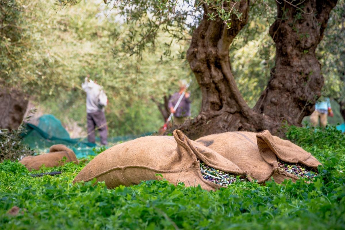 produzione di olive in italia