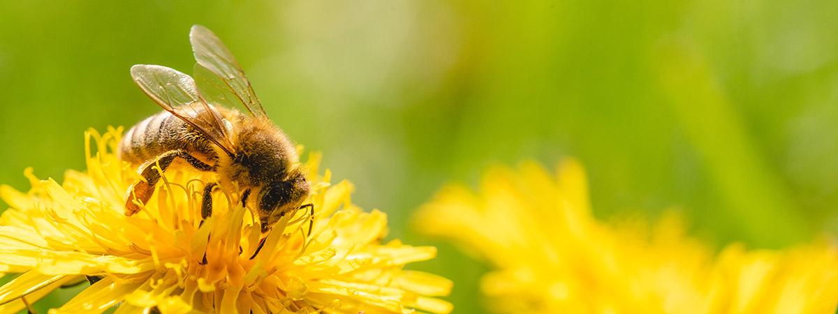 Le apil al lavoro per produrre il miele