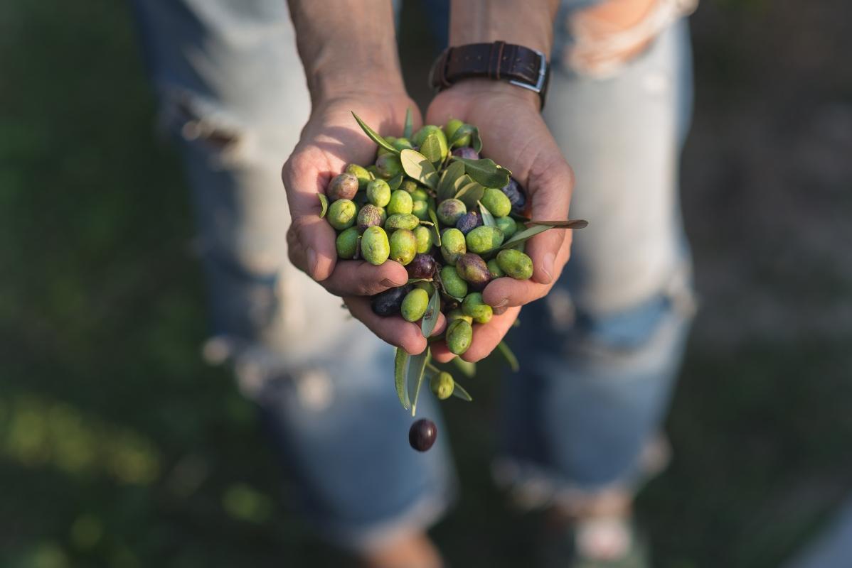 olive: botanica
