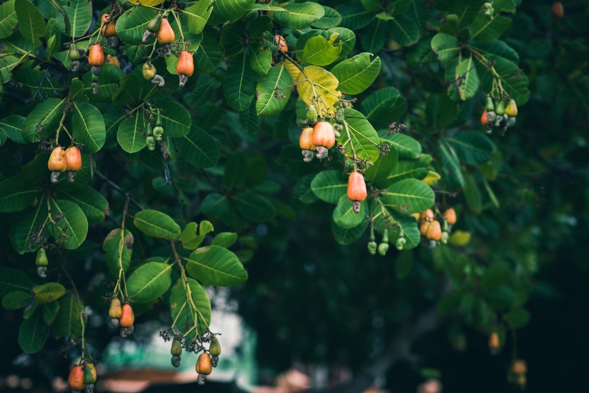 anacardi: botanica e pianta