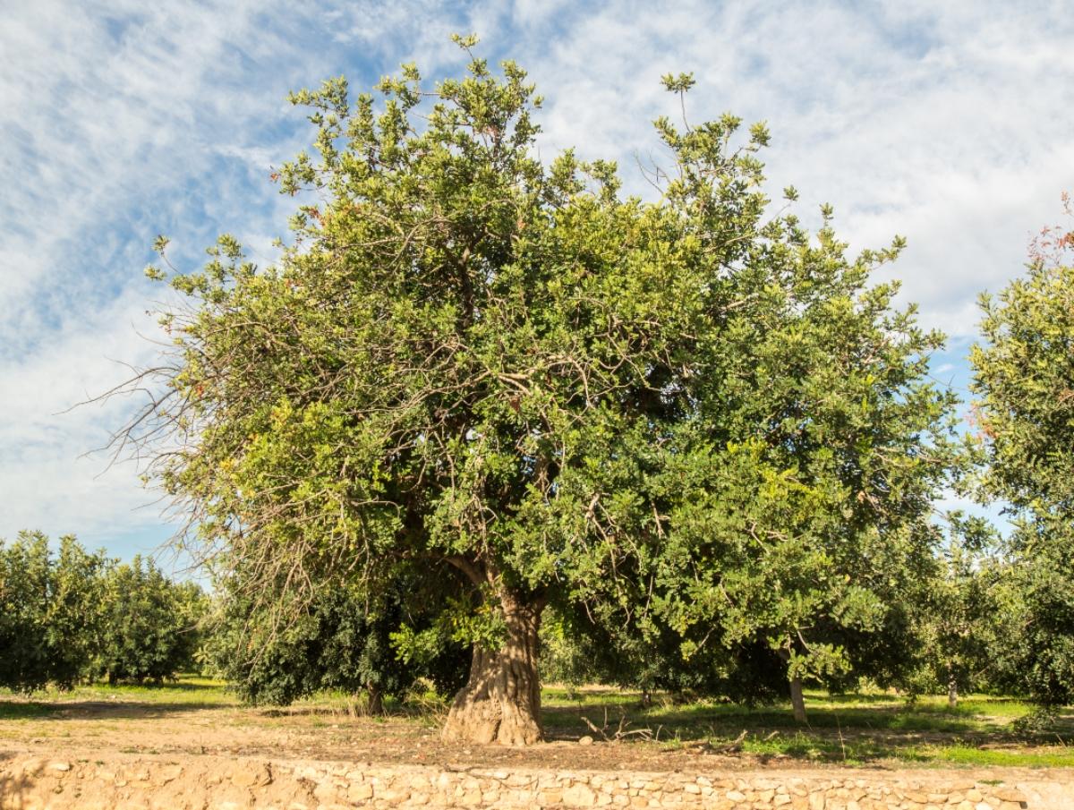 carruba botanica