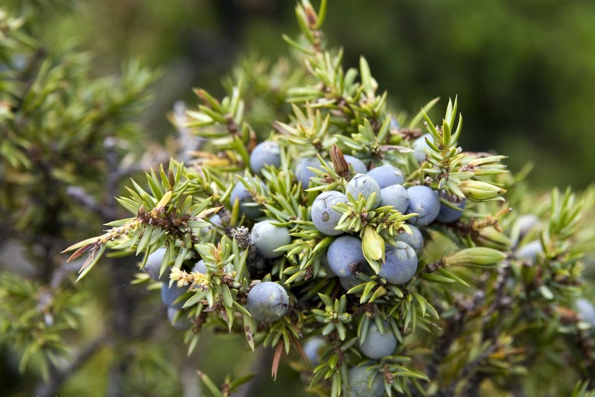 ginepro: pianta