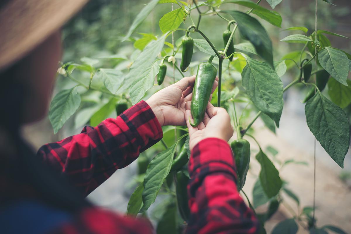 Peperoncino: coltivazione