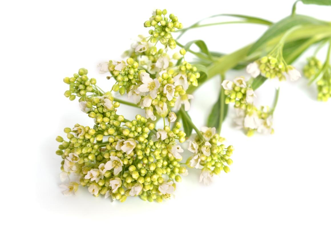 rafano: fiori