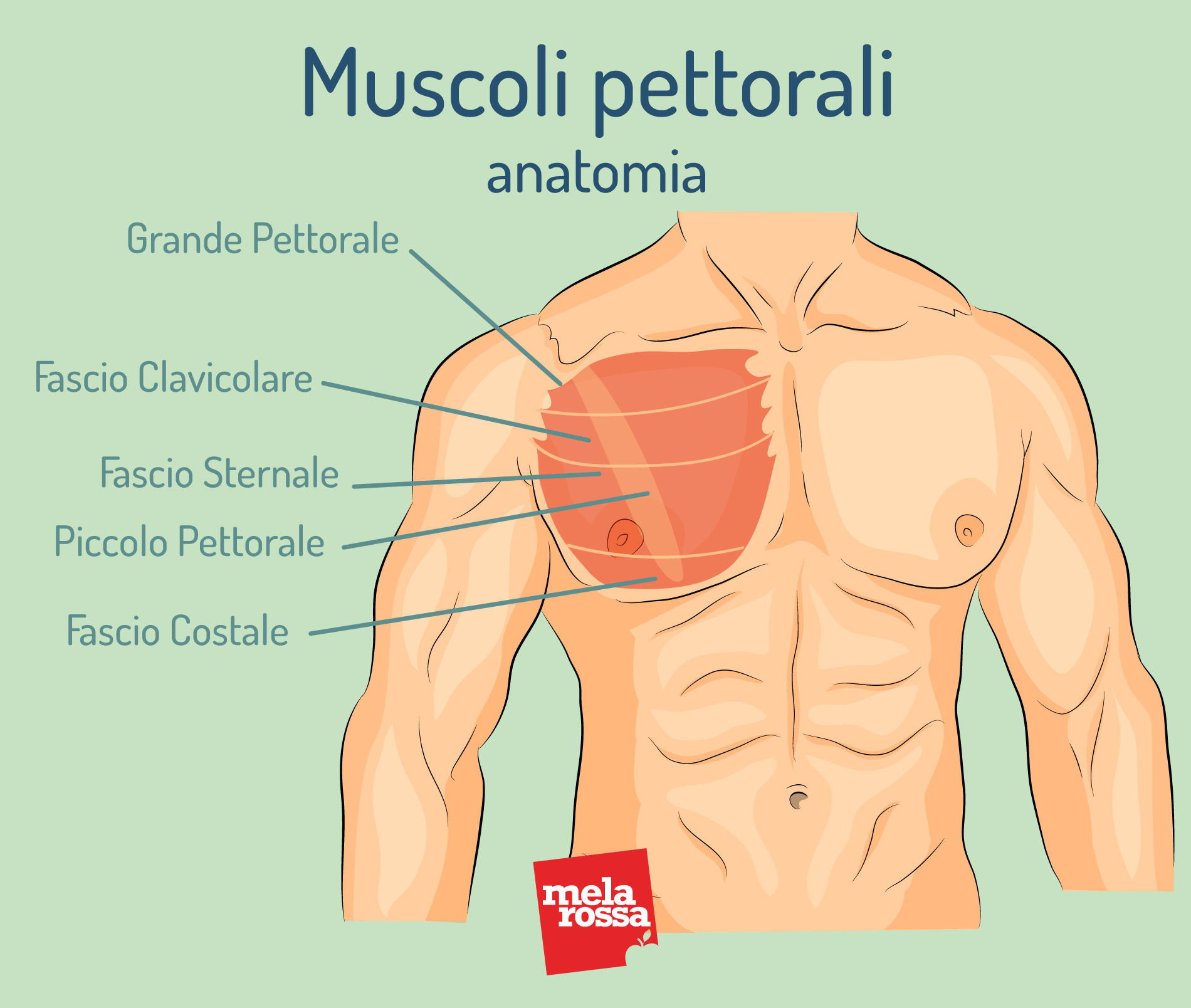 muscoli pettorali: anatomia