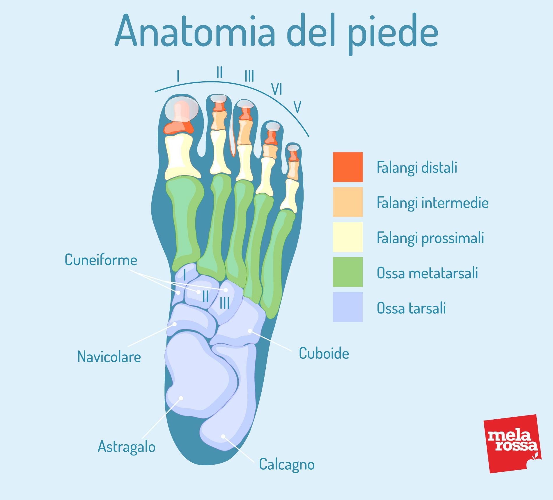 alluce valgo: anatomia del piede